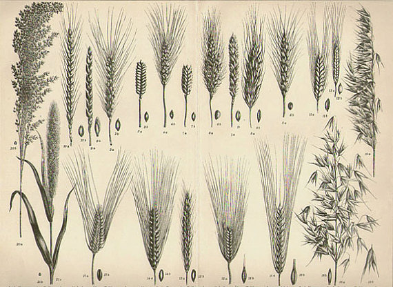 Antique 1899 BOTANICAL Art Print grains wheat illustration vintage collectible print Vintage Inclination 19 (home decor) by VintageInclination