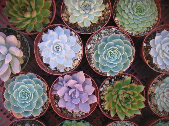 3 Large Succulent Plants, Great for Weddings, Table Decor and Bouquets, Centerpiece, Rosette Shape by SucculentsGalore
